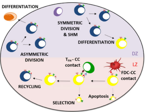 Plasma cell differentation in the germinal center